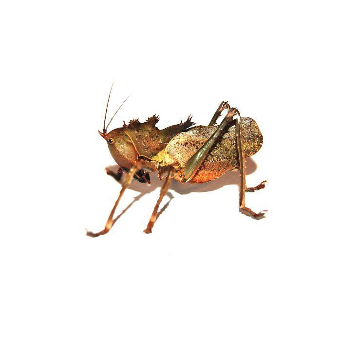 Eumegalodon Spec. - Cavalletta Drago