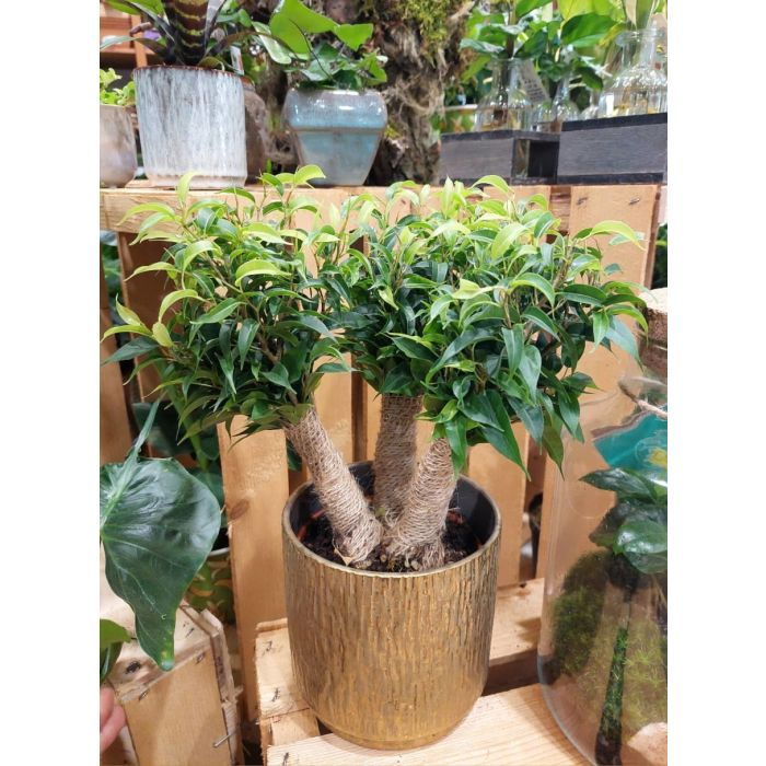 Ficus Benjamin 3 tronchi