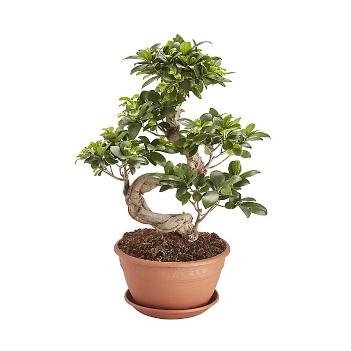 Bonsai di Ficus Ginseng a forma di S - 60cm