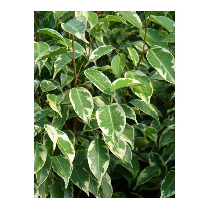 Ficus Benjamina - Variegata