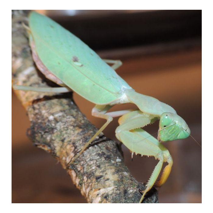 Sphodromantis Gastrica - Mantide gigante africana