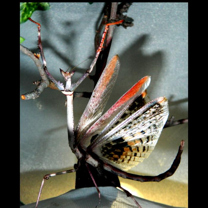 Heterochaeta orientalis - Mantide Stecco Gigante