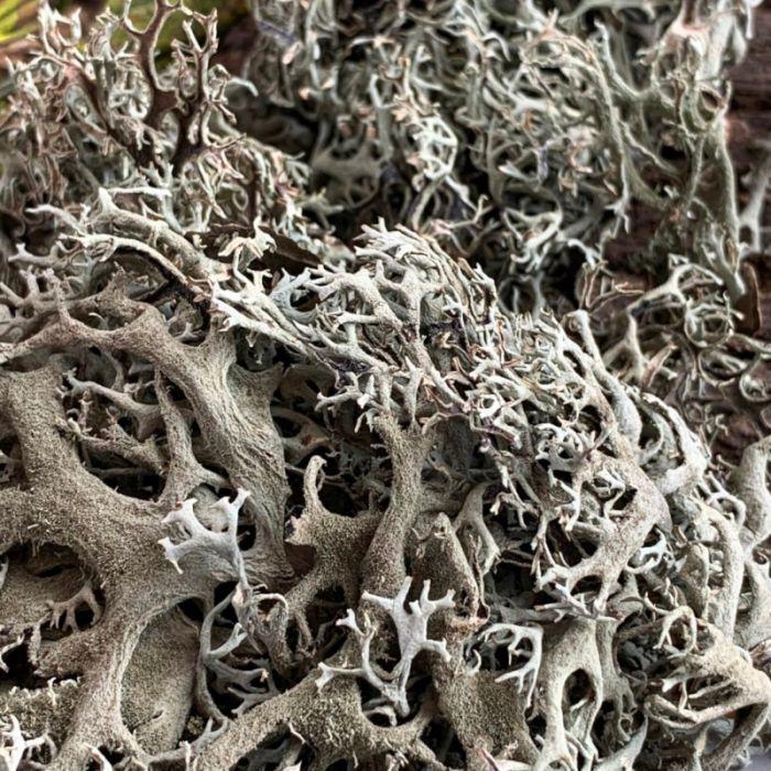 Lichene Naturale 30gr - 1 Litro