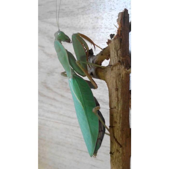 Sphodromantis Lineola - Mantide Verde/blu africana