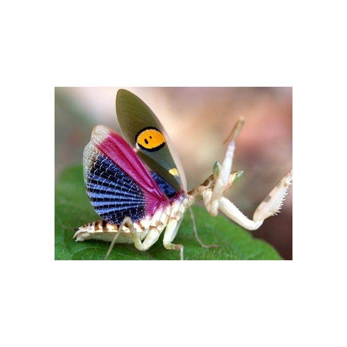 Creobroter gemmatus COPPIA SUBADULTA - Mantide Fiore