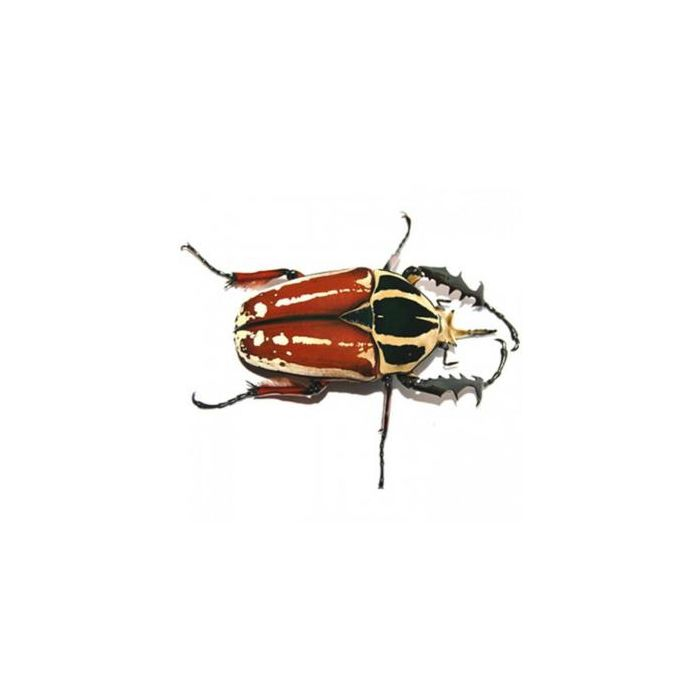 Larva di Mecynorrhina torquata ugandensis