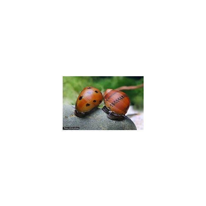 Lumaca Neritina sp.Tiger Orange Track - 4 esemplari -