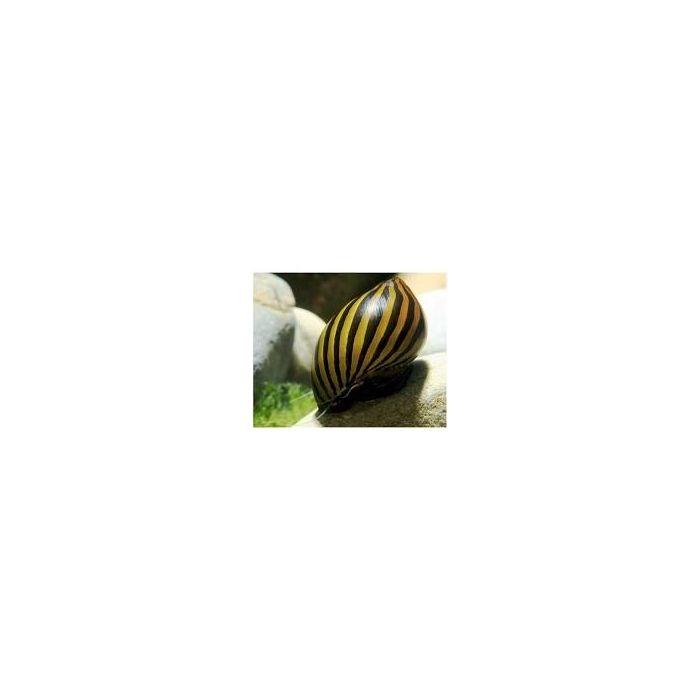 Lumaca Neritina Turrita - 4 esemplari -