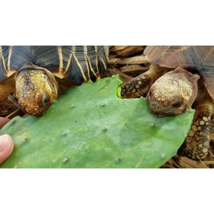 Pale di Fico d'india - Alimento per tartarughe e rettili erbivori