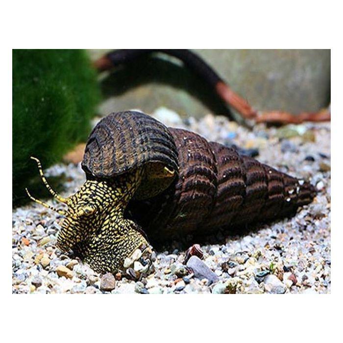 Tylomelania Patriarchalis - Lumaca gigante d'acquario
