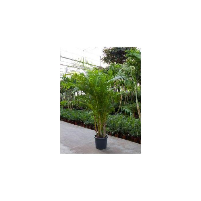 Palma Chrysalidocarpus Lutescens