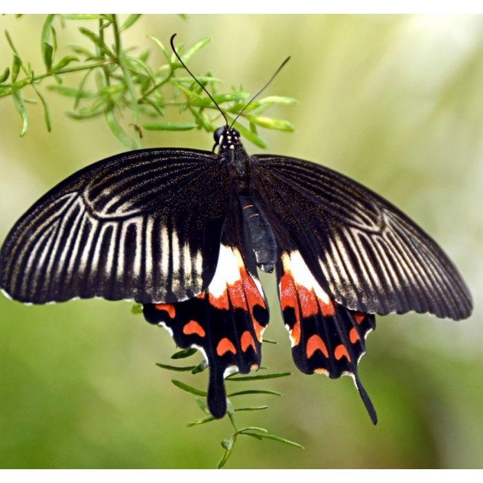 Papilio Polytes - 3 Pupe
