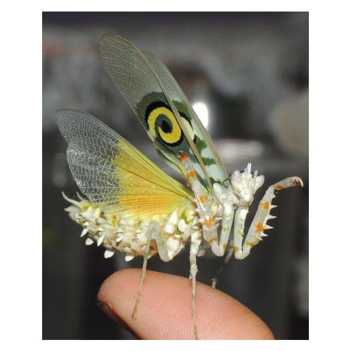 Pseudocreobotra ocellata - Mantide fiore spinosa africana