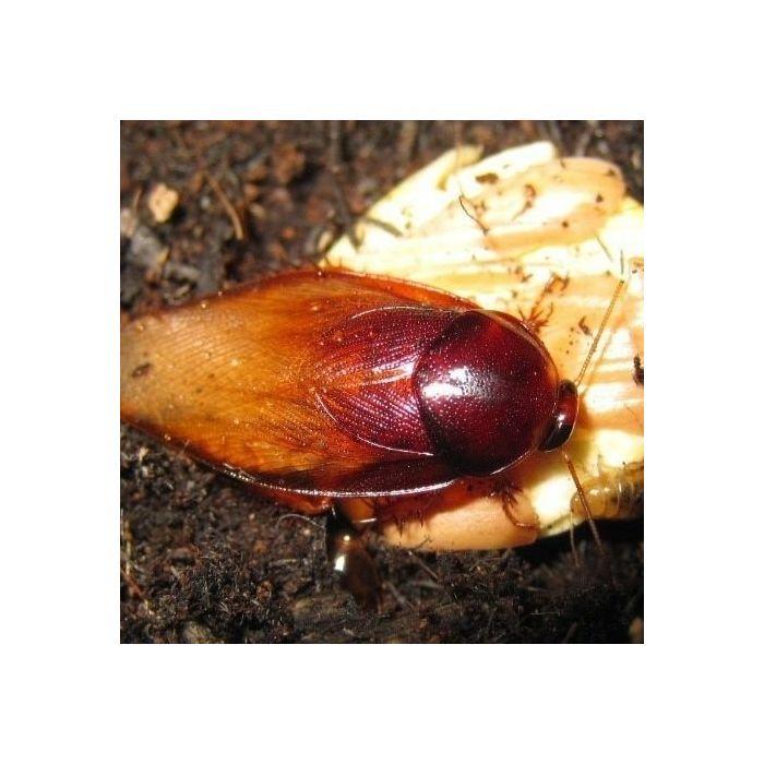 Pycnoscelus striatus - 50 Pezzi