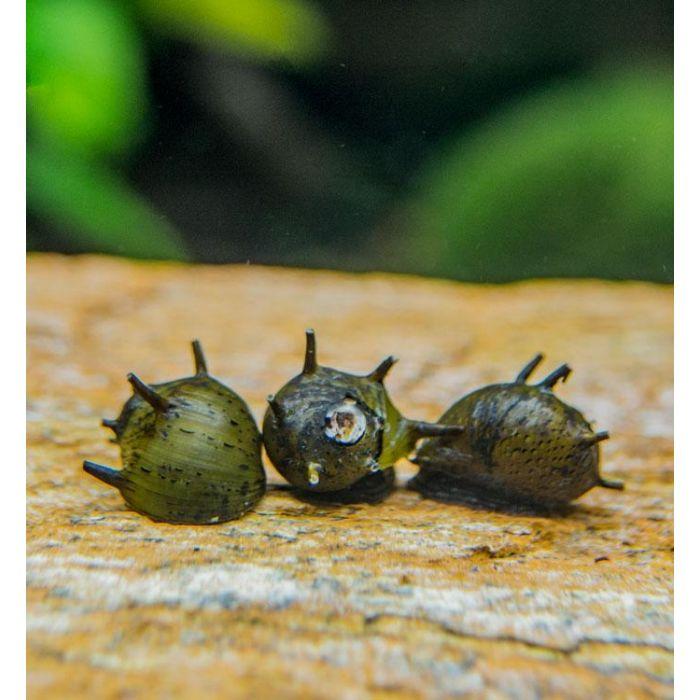 Neritina Sun Horn Snail