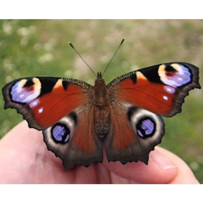 Farfalla Vanessa occhio di pavone (Inachis Io) - 6 Bruchi
