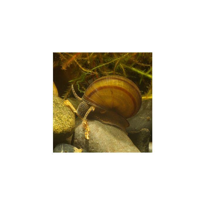 Viviparus viviparus - 2 Esemplari
