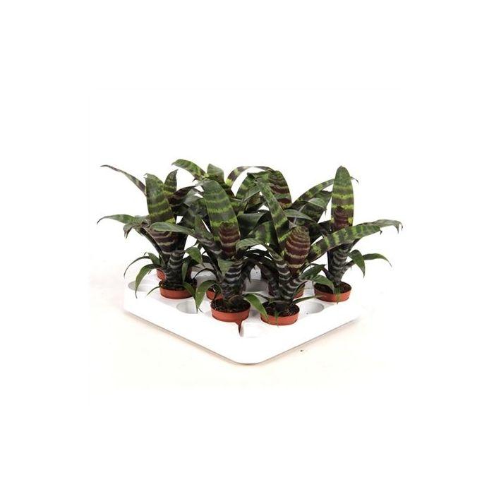 Bromelia Vriesea 'Era' Forest
