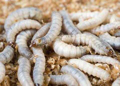 altre larve e vermi