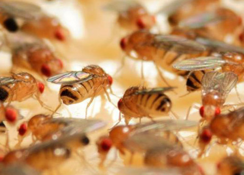 drosophile e mosche