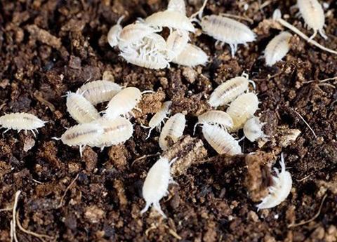 micro insetti